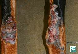Photo of Doberman pinscher with chronic acral lick dermatitis lesions on both forelegs