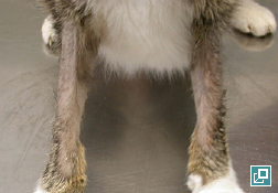 Photo of self induced alopecia, forelegs, due to <em>Demodex gatoi</em>