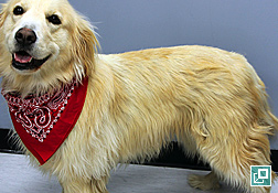 Photo of Golden retriever - poor quality hair coat characterized by dull, faded hair coat, thinning characteristic with telogenized hair coat suggestive - disturbance in follicular cycling